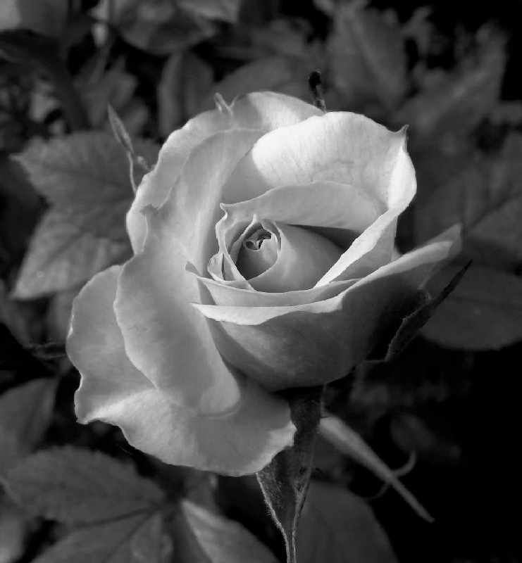 - Black and white rose - by Tony Karp - Techno-Impressionist Museum - Techno-Impressionism
